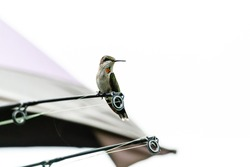 An immature male Ruby-throated hummingbird, Archilochus colubris, perched on a fishing pole facing forward looking to the right.