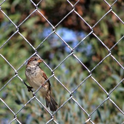 An immature male sparrow perched on a chain link fence against a blurred background.