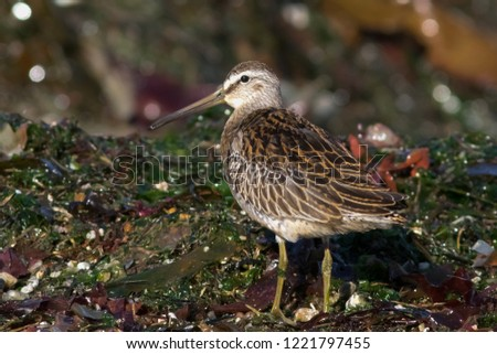 An immature Short-billed Dowitcher foraging among washed up sea weed on a California beach #1221797455