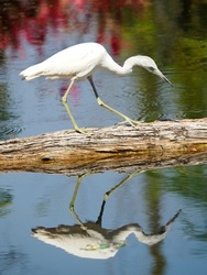 An Immature (white) Little Blue Heron Walking the Dead Tree Reflected in the Water