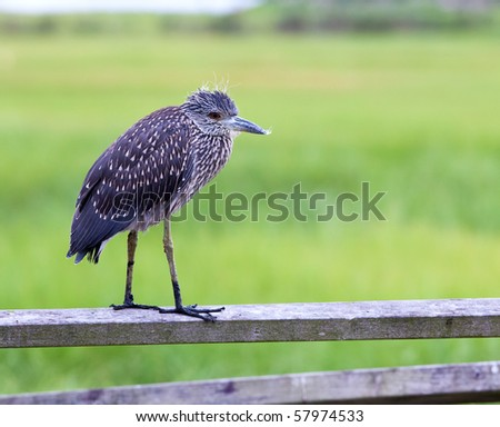 An immature yellow-crowned night heron (Nyctanassa violacea) on Long Island, New York.