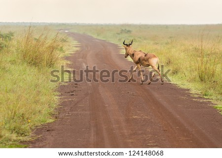 An impala crossing a dirt road in the grasslands of the Nairobi National Park