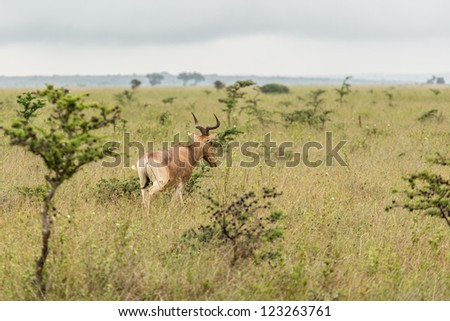 An impala in the grasslands of the Nairobi National Park