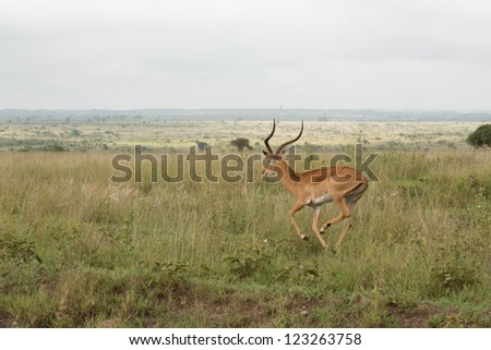 An impala running in the grasslands of the Nairobi National Park