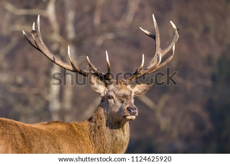 An imposing Red Deer stag with grass caught in his antlers against a blurred woodland backdrop. #1124625920