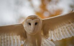 An incoming Barn Owl in Ontario, Canada