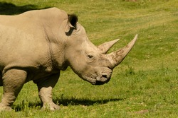An incredible close-up side view of a rhinoceros on safari with large horns grazing and ears at attention.