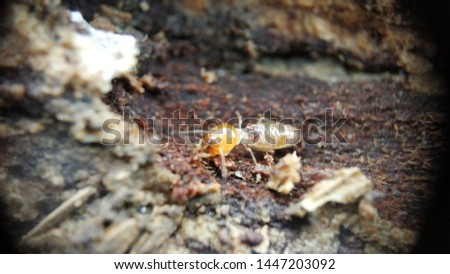An Indian drywood termite - Cryptotermes brevis Extreme macro closeup Photo