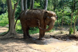 an Indian elephant (Elephas maximus indicus) near Kanchanaburi, Thailand taking a mud bath and throwing mud over his side