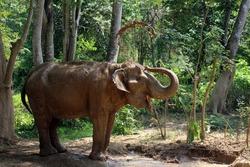 an Indian elephant (Elephas maximus indicus) near Kanchanaburi, Thailand taking a mud bath in the forest