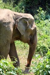 an Indian elephant (Elephas maximus indicus) near Kanchanaburi, Thailand walking in the forest