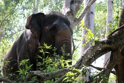 an Indian elephant (Elephas maximus indicus) near Kanchanaburi, Thailand walking in the forest  between the overhanging trees