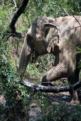 an Indian elephant (Elephas maximus indicus) near Kanchanaburi, Thailand walking in the forest  and stepping over a branch