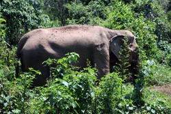 an Indian elephant (Elephas maximus indicus) near Kanchanaburi, Thailand walking in the low forest