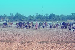 An Indian lady walking on a crop field with cows.