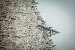 An Indian monitor lizard rising from a fresh water pond at Dobanki of Sundarban