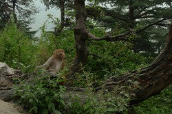 An Indian monkey in a lush green forest outside Dharmshala