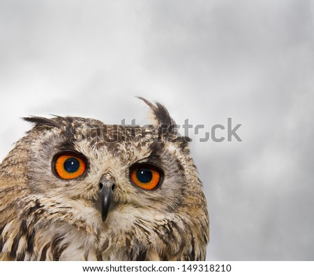 An Indian or Bengal Eagle owl pears into the camera./Indian (Bengal) Eagle Owl close-up