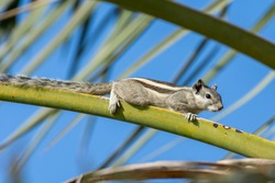 An Indian palm squirrel or three-striped palm squirrel (Funambulus palmarum) on a palm tree branch with blue sky in background in the middle east.