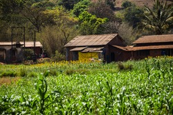 An Indian rural or village or countryside houses surrounding with sunflower agricultural land in summer season at kolhapur city Maharashtra India, in full focus.