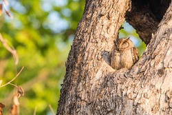 An Indian Scops Owl in a roost, Kamba National Park, India