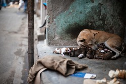 An Indian street dog feeding her new born puppies in a road side shelter. Indian animals.