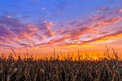 An Indiana cornfield is topped by a colorful autumn sunset sky.