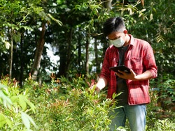 An Indonesian young man use smart phone to search online information for analyzing agricultural problems in organic Syzygium paniculatum garden. Smart farming concept.