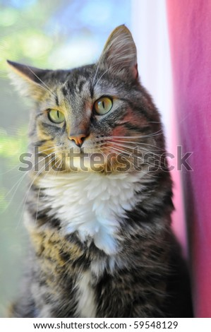An indoor Maine Coon kitty cat sitting on the window cell staring at the camera.