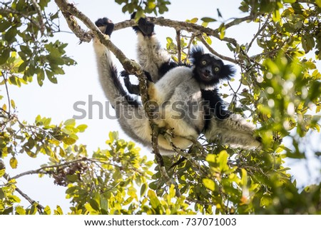 An Indri indri lemur demonstrates flexibility in the forest canopy. Madagascar
