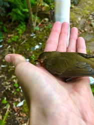 An injured small bird resting in the palm of a hand