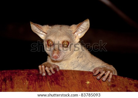 An inquisitive Bushbaby looking on the table in a Tanzanian tented camp