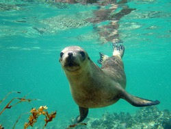 An inquistive sea lion underwater