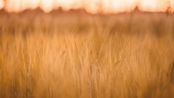 an insect on a wheat in a field at sunset. Rural autumn background