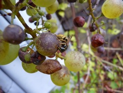 an insect sits on ripe grapes