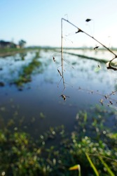 an insect trapped in a spider web at the end of a branch at the edge of a rice field in the morning