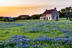 An Interesting Abandoned Old Rock Homestead in a Beautiful Field Loaded with the Famous Texas Bluebonnet (Lupinus texensis) Wildflowers at Sunset.
