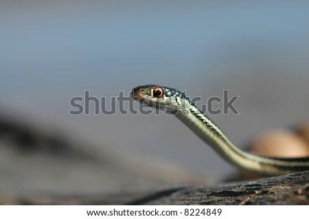 An interesting portrait of an attractive little ribbon snake.