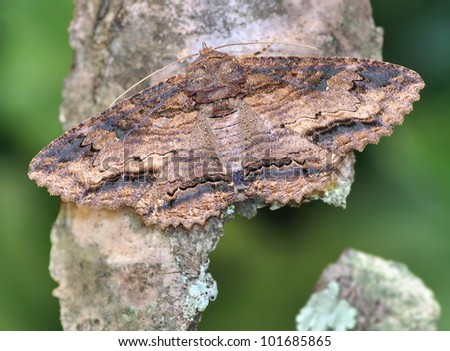 An interesting woodland moth (Zale lunata) on a piece of bark.
