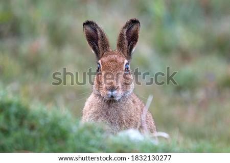 An Irish mountain hare, west of Ireland  Stock photo ©