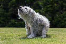 An Irish soft coated wheaten terrier puppy scratching its scruffy wire fur, appearing uncomfortable, maybe having a skin infection or virus. Isolated dog with bokeh background on English garden grass