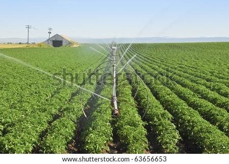 An irrigation wheel line waters a potato field.