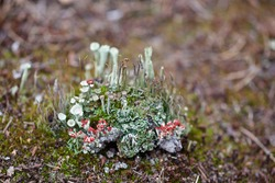 An isle of various lichens. A group of cladonia lichens.