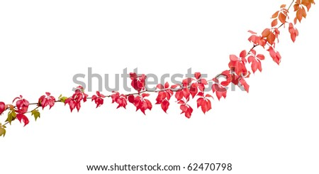 An isolated beautiful autumn red wine leaf