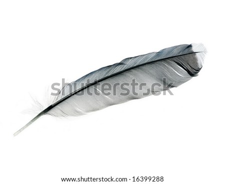 an isolated bird feather of a Blue Jay on a white background