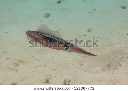 An isolated close up colorful squid cuttlefish underwater