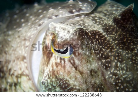An isolated close up colorful squid cuttlefish underwater with big eye macro in Borneo