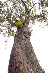 An isolated cutout of an upward image of a tall, aged and weathered rain forest tree.
