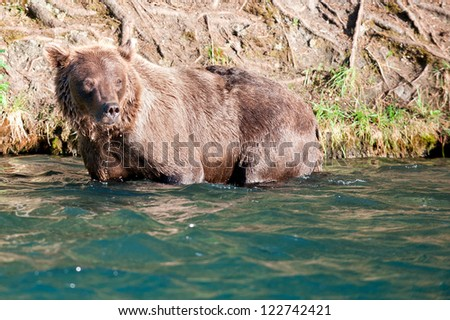 An isolated grizzly bear looking at you in Russian River Alaska