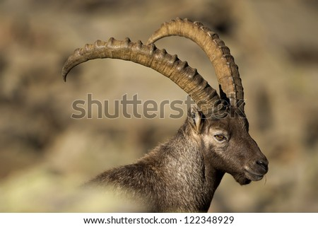 An isolated ibex long horn sheep close up portrait on the brown background